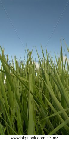 Grass And Blue Sky2