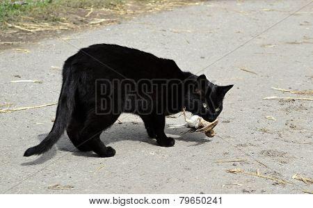Black cat carries a caught bird
