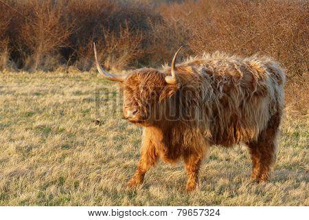 Scottish Highlander..