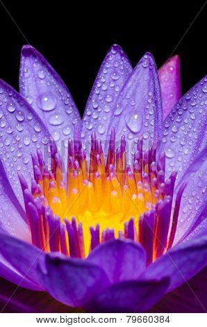 Macro Yellow Carpel Of Purple Lotus Flower