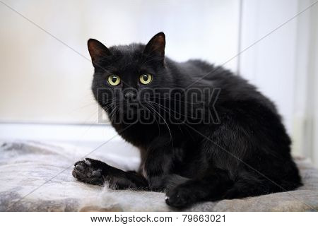 Black Domestic Cat.