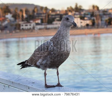 Seagull Near Water With Santa Cruz In Far Background