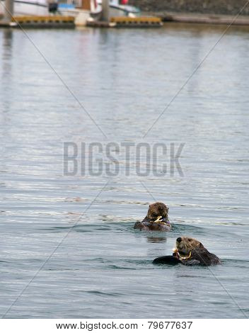 Two Otters Eating Crab