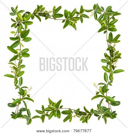 Frame Of Creeper Flower Isolated