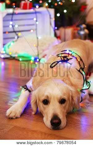 Labrador lying with garland on wooden floor and Christmas decoration background