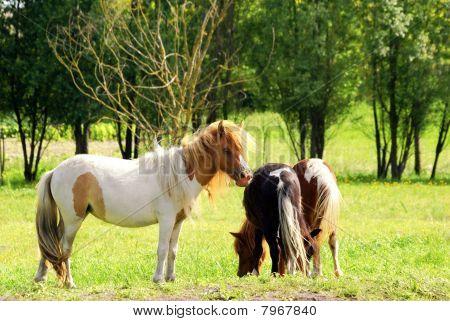Pferd Pony
