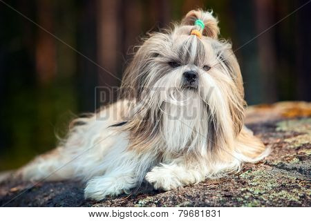 Shih-tzu dog lying outdoors on stone in forest.