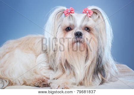 Shih-tzu dog with pink bows portrait on blue background.