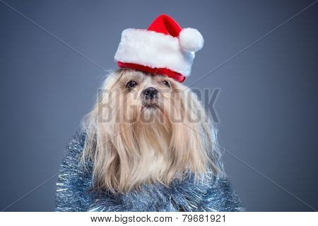 Shih tzu dog in santa hat and silver decoration on blue background.