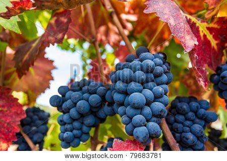 Ripe grapes in Napa Valley