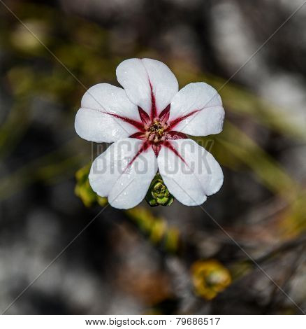 Adenandra Villosa Flower