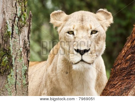 Young Lioness Peering Through Trees