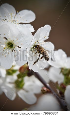 Closeup Of A Working Bee