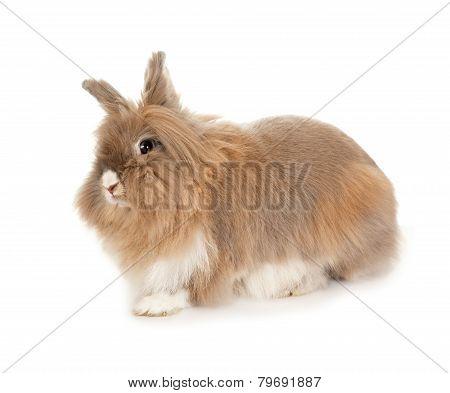 Lionhead rabbit.