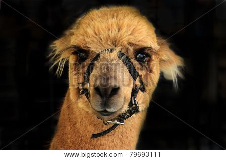Alpaca llama headshot isolated