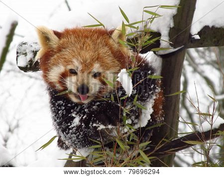 red panda in winter