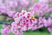 stock photo of sakura  - Sakura flower blooming blossom in Pangkhon mountain Chiang rai Thailand - JPG