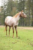 stock photo of appaloosa  - Potrait of beautiful appaloosa mare in autumn  - JPG
