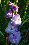 stock photo of gladiolus  - Blue gladiolus growing in a flower garden - JPG