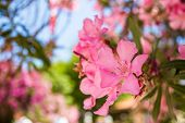 picture of oleander  - Oleander rose bay flower - JPG