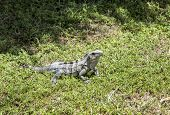 stock photo of fanny  - lizard at the grass in the national park in Key Biscane - JPG