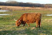 picture of highland-cattle  - Scottish highlander in nature Lentevreugd Wassenaar Netherlands - JPG