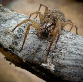image of baby spider  - A mother spider carrying her young across a branch  - JPG