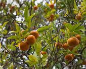 stock photo of satsuma  - Fresh ripe mandarins on the tree in garden - JPG