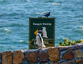 stock photo of jackass  - A Penguin heads for the beach at the Boulders Penguin Colony - JPG