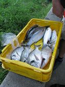 picture of kindness  - Various kinds of fresh fishes displayed in a container of a fisherman - JPG