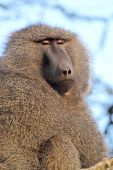foto of anubis  - Portrait of a male adult olive baboon Papio Anubis on a tree - JPG