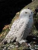 stock photo of snowy owl  - snowy owl sitting on the ground with dark background behing it  - JPG