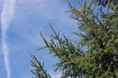 foto of conifers  - deep green conifer with blue sky on day - JPG
