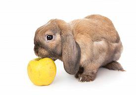 pic of dwarf rabbit  - Dwarf rabbit sniffs the yellow apple - JPG