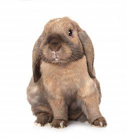 image of dwarf rabbit  - Dwarf lop - JPG
