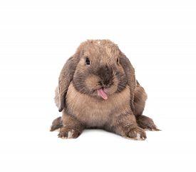 image of dwarf rabbit  - Rabbit puts out one - JPG