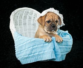 stock photo of bassinet  - Funny little Beabull puppy sitting in a bassinet wearing a baby bonnet on a black background - JPG