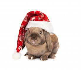foto of dwarf rabbit  - Dwarf lop - JPG