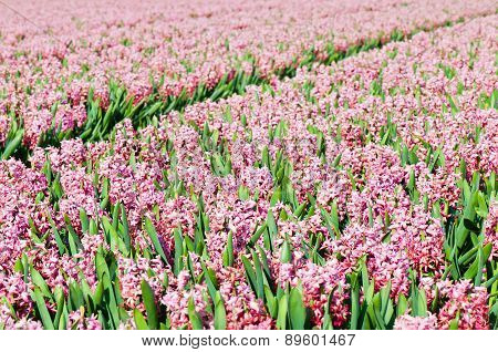 Field of pink hyacinths with red tulip