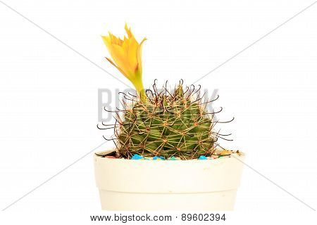 Flower Cactus In Pot On White Background And Isolated