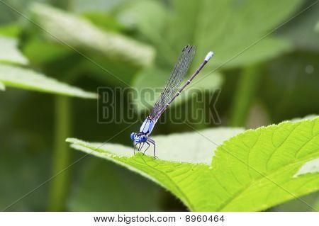 Blue Damselfly on Green Leaf