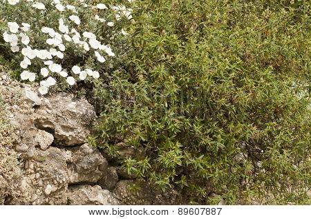 White Flowers And Evergreen Bush In The Rock