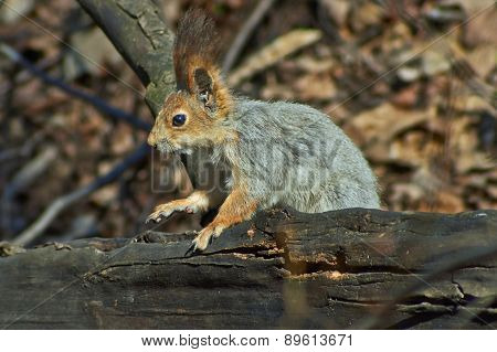 Squirrel In A   Forest Gets Food.