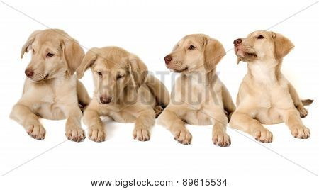 Brood Beige Puppies