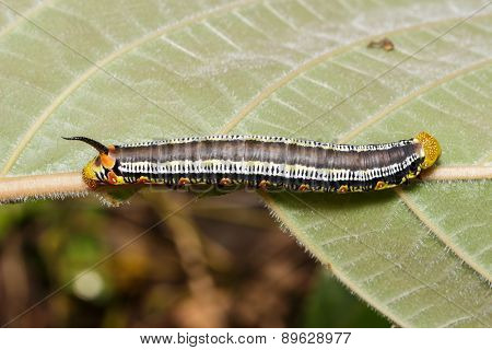 Top Of Pellucid Hawk Moth (cephonodes Hylas Linnaeus) Caterpillar