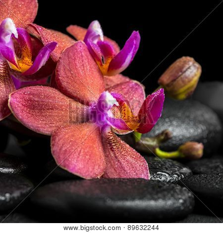 Beautiful Spa Concept Of Blooming Twig Red Orchid Flower, Phalaenopsis With Dew On Zen Basalt Stones