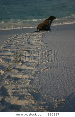 Sea Lion Leaving Footprints In The Sand