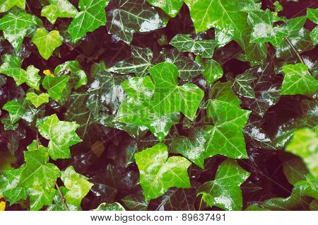 Wet Common Ivy With New And Old Foliage