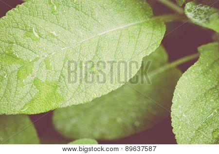 Wet Sage Leaf Extreme Close Up - Salvia Officinalis