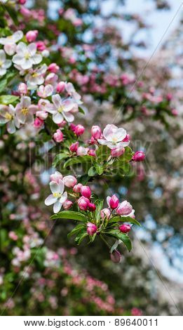 Budding And Blossoming Crabapple Tree From Close